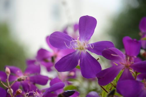violetinės laukinės gėlės,penki žiedlapių gėlių,gėlių medžiagos