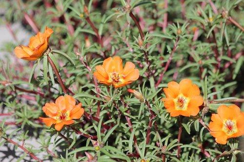 purslane  portulaca grandiflora  grandiflora