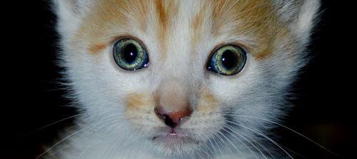 pussycat cat kitten