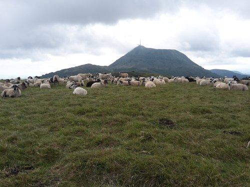 puy-de-dome  sheep  auvergne