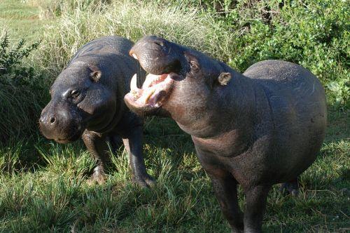 pygmy hippos hippopotamus pair