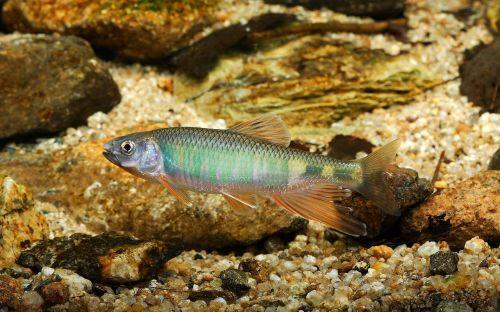 pyramid freshwater fish fishes