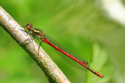 pyrrhosama nymphula  dragonfly  adonis dragonfly