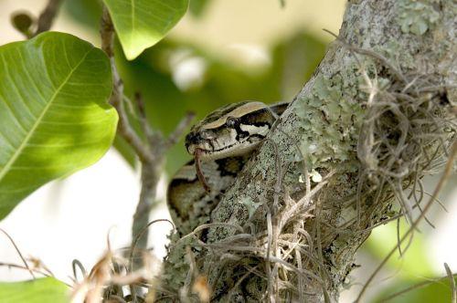 python snake burmese