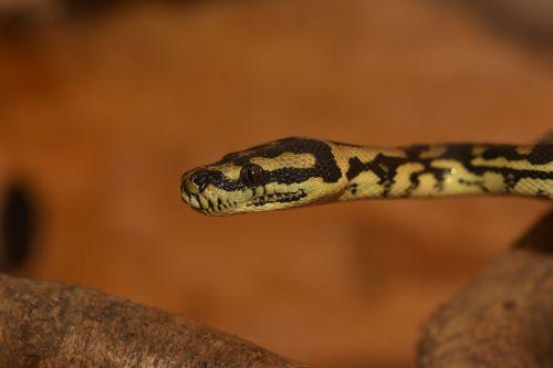 python snake animal