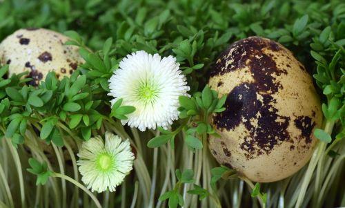 quail egg egg cress