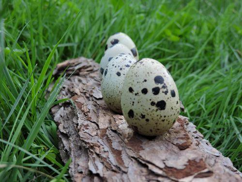 quail eggs bark ranking