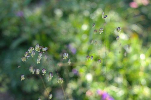 quaking grass briza media grass