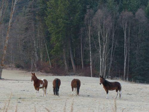 quarter horse animal mammal