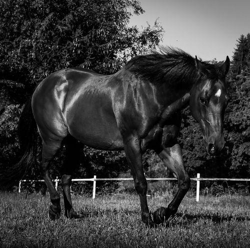 quarterhorse horse black and white