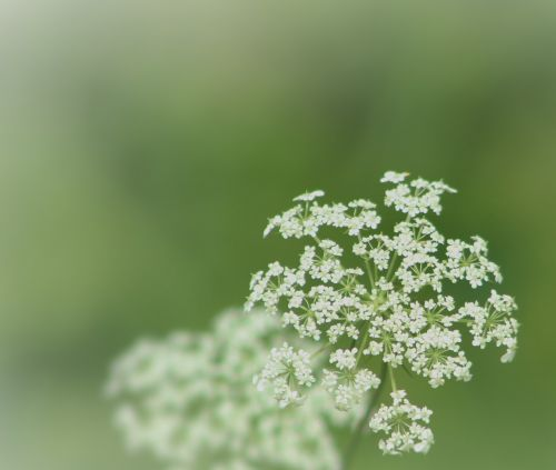 queen anne lace green flower