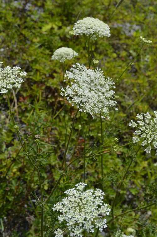 queen anne's lace wild carrot flower