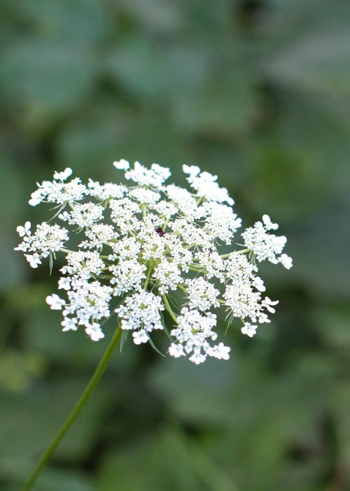 queen anne's lace flower green
