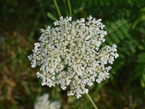 queen anne's lace with dewdrops wildflower flower blossom