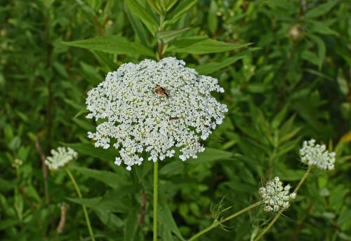 queen anne's lace with insect goldenrod soldier beetle wasp