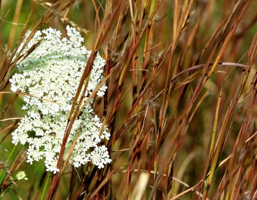 queen ann's lace grass seed