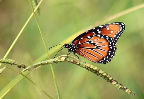 gamta, laukinė gamta, gyvūnai, vabzdžiai, drugelis, karalienė, karalienė & nbsp, drugelis, sėdi, laukinė & nbsp, žolė, žalias & nbsp, fonas, sparnai, dėmės, juodas & nbsp, oranžinis & nbsp, drugelis, karalienės drugelis ant laukinės žolės