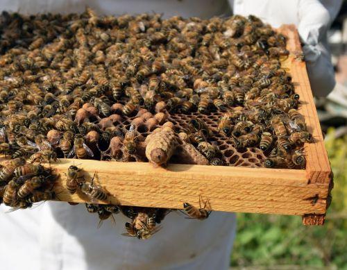 queen cell capped honeybee