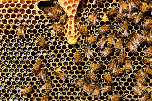 queen cup honeycomb honey bee