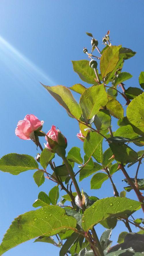 queen elizabeth rose bush roses pink