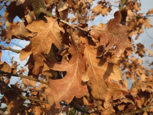 quercus robur english oak pedunculate oak