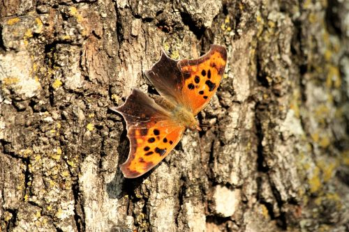 Question Mark Butterfly On Tree