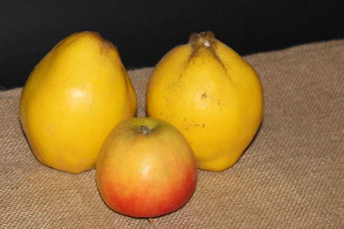 quince pear quince yellow