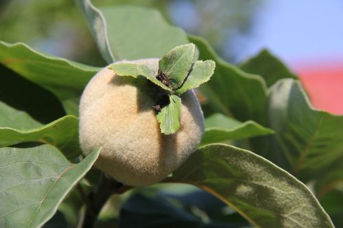 quince fluffy immature