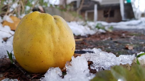 quince winter apple quince
