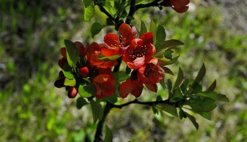 quince  flowering quince  sad