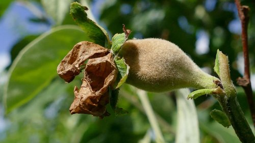 quince  pear-quince  fruit