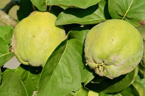 quince  fruit  yellow