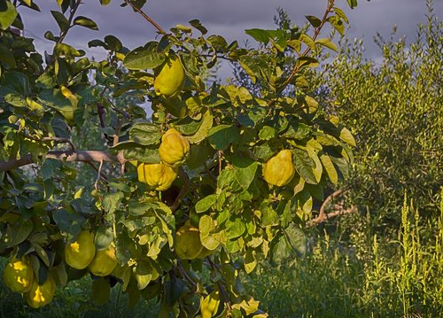 quince  autumn fruit  tree of quince