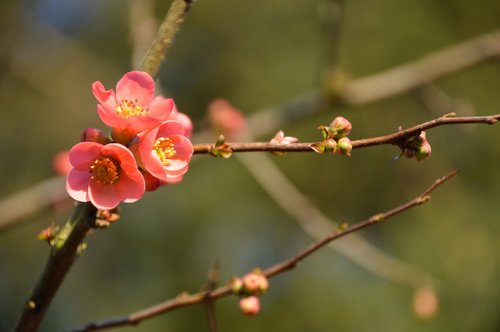 quince  japan  spring