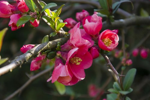 quince  spring  tree