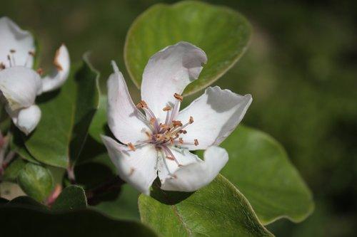 quince  cydonia  rosaceae