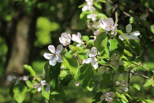 quince  quittenbaum  fruit tree