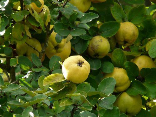 quince fruit cydonia oblonga