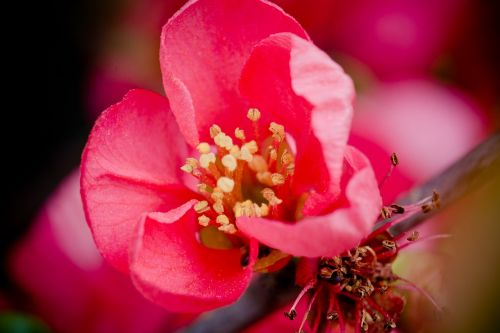 quince flower blossom bloom