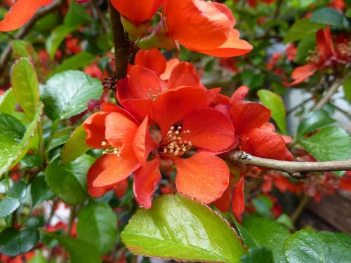 quince flower garden shrub orange