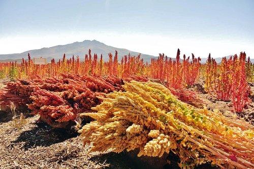 quinoa  cereals  organic