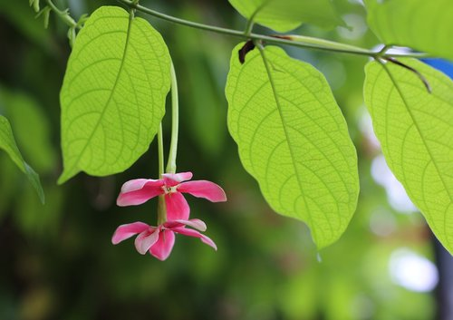 quisqualis indica l  flower  pink