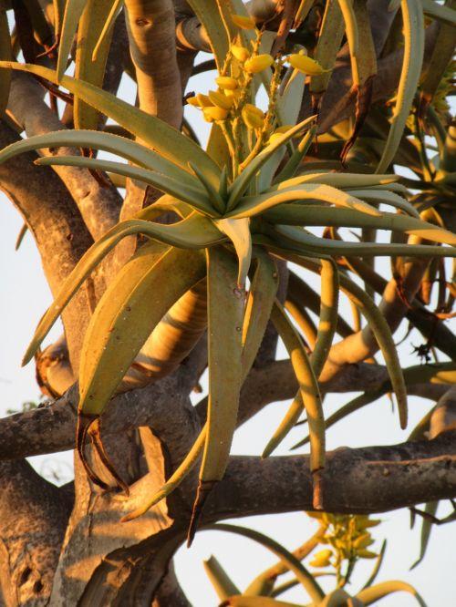 quiver tree sundown
