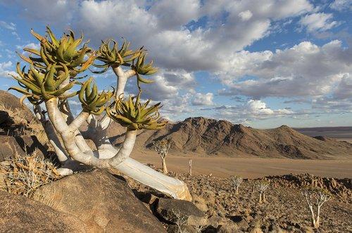 quiver tree  namibia  nature