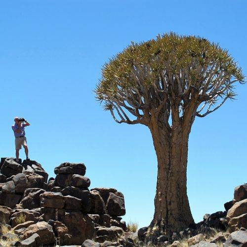 quiver tree namibia africa