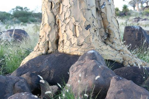 quiver tree bark tree