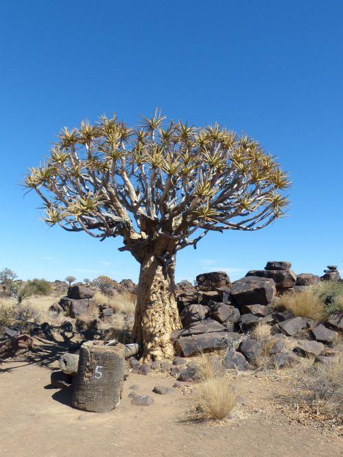 quiver tree namibia tree