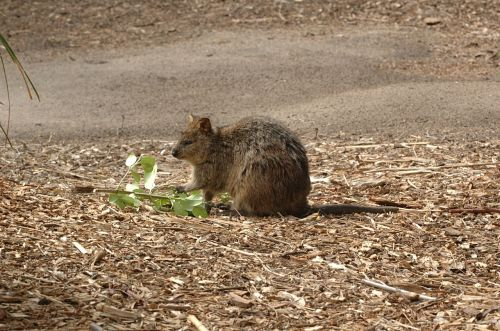 quokka animal short tail wallaby