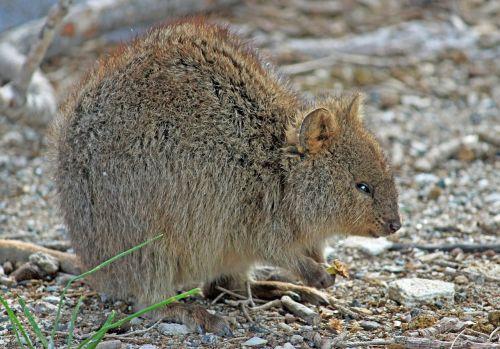 quokka marsupial kangaroo