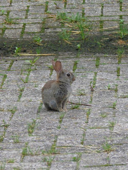 rabbit young rabbit nature